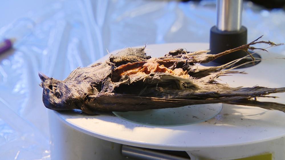 Науковці знайшли залишки птаха, якому понад 4 тисячі років