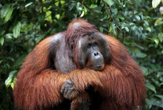 На острове Борнео уничтожили более 100 тыс. орангутангов