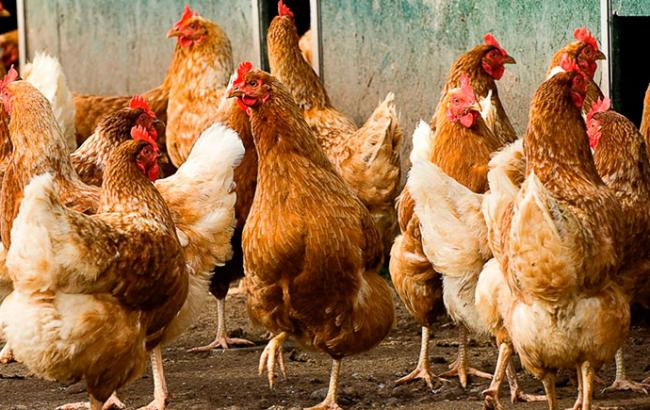 Водном изсел Херсонщины ветеринары зафиксировали вспышку птичьего гриппа